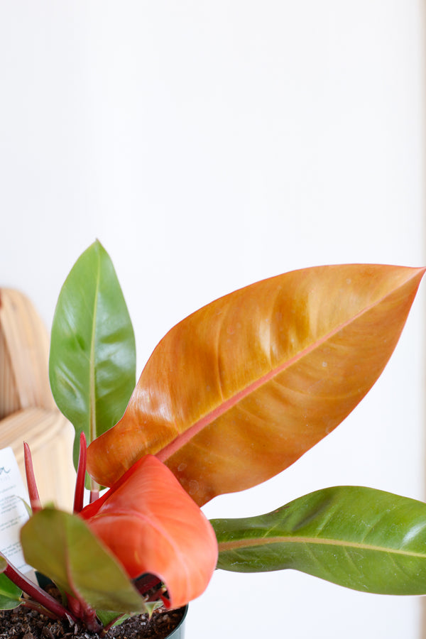 Philodendron 'Prince of Orange'