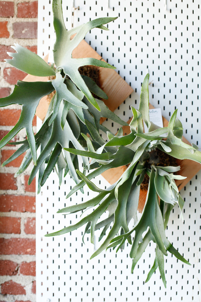 Mounted Platycerium veitchii (Staghorn Fern)