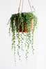 Senecio herreianus (String of Beads)