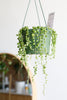 Senecio rowleyanus (String of Pearls)