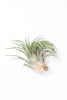 Tillandsia (Air Plant)- Medium