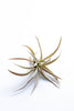Tillandsia (Air Plant)- Large