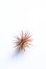 Tillandsia (Air Plant)- Small