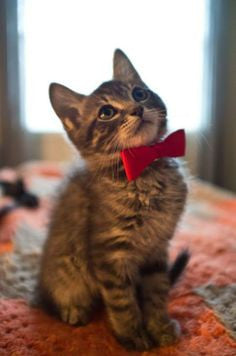 Fashion Bow Tie for Cat