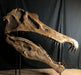 New Spinosaurus Skull Life Sized Replica From The Prehistoric Store