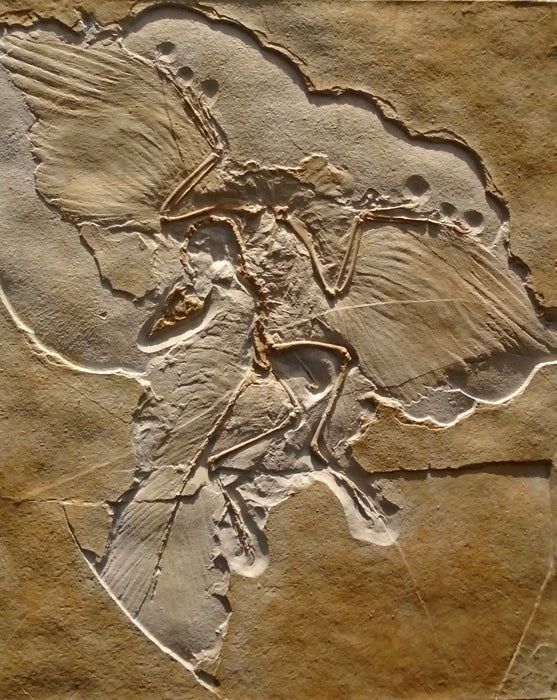 High detailed reproduction of our Archaeopteryx, finished in original colour from The Prehistoric store