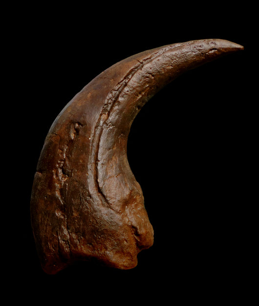 Baryonyx Claw available from The Prehistoric Store