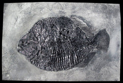 Replica Fossil Fish: Dapedium, Punctatum Hand Made