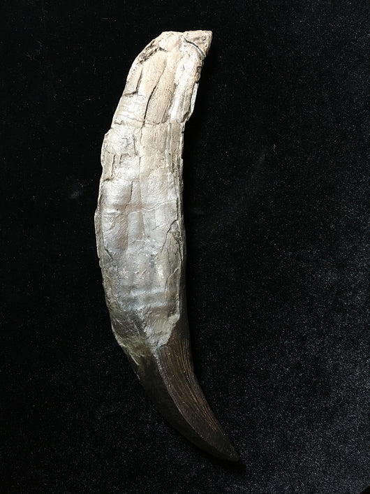 26 cm Simolestes vorax Pliosaur tooth bigger than T Rex tooth replica