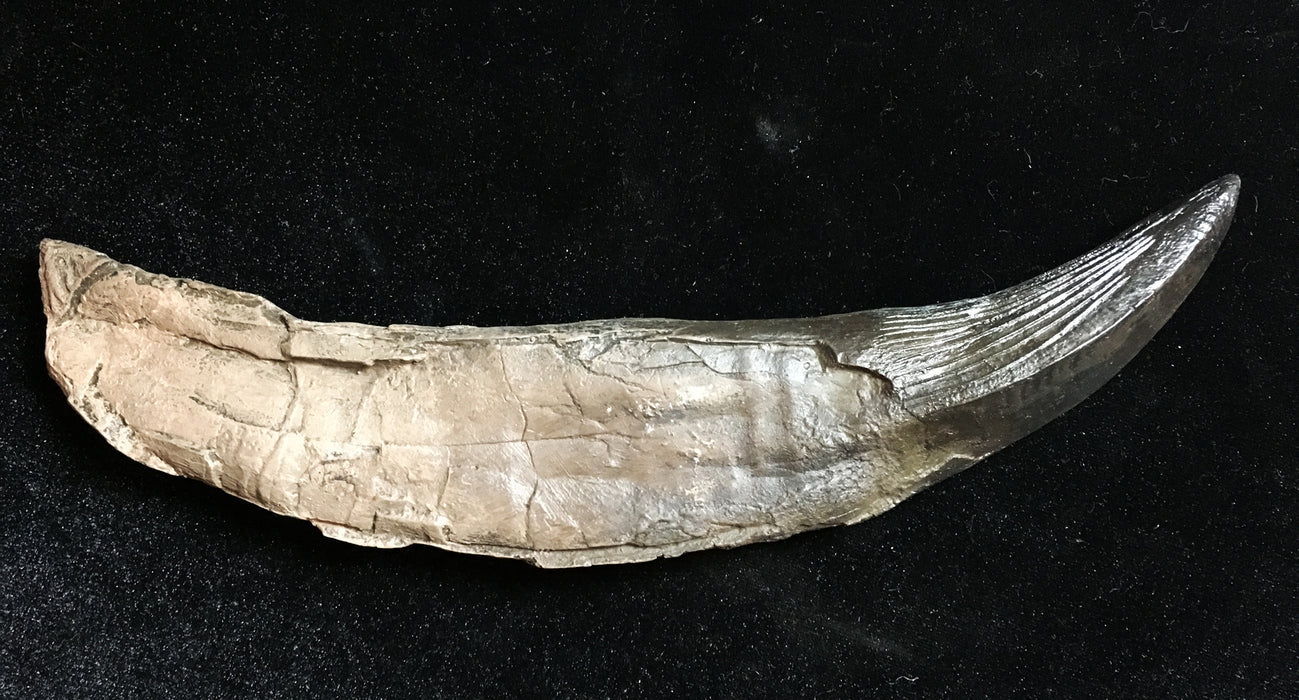 British Pliosaur tooth replica from the Prehistoric Store
