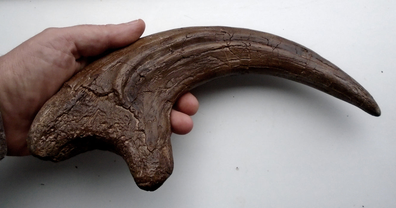Neovenator Life Size Claw from The Prehistoric Store