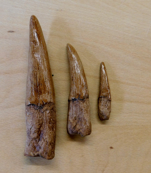 Spinosaurus aegyptiacus Set of teeth from The Prehistoric Store