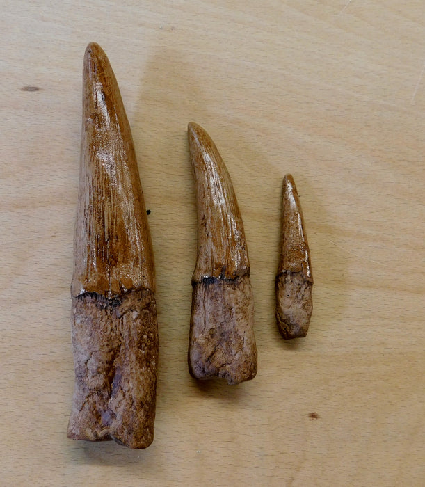 Spinosaurus Life Size Tooth Set Replica FREE SHIPPING
