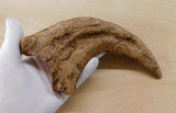 Utahraptor Fossilized Claw Replica