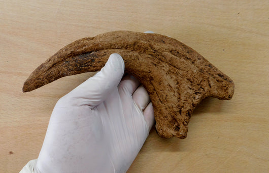 Utahraptor Claw From The Prehistoric Store