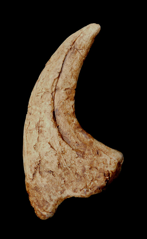 Utahraptor 'Thumb' Claw From Prehistoric