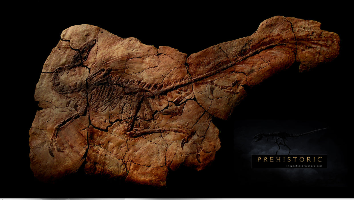 Life size Velociraptor Mongoliensis Fossil Panel Matrix Wall Display 1.85m Long FREE SHIPPING*