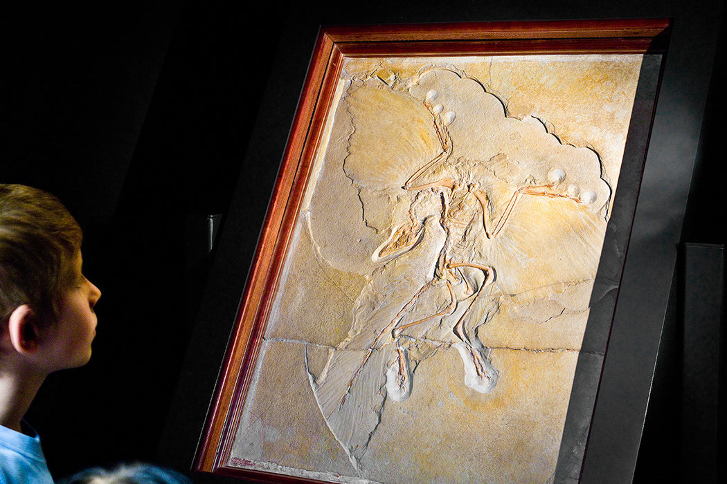 Archaeopteryx Life Sized Fossil Replica Wall Mount