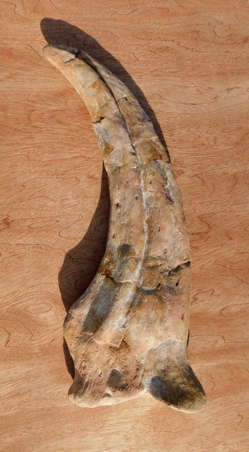 Life Size 54cm Spinosaurus claw replica