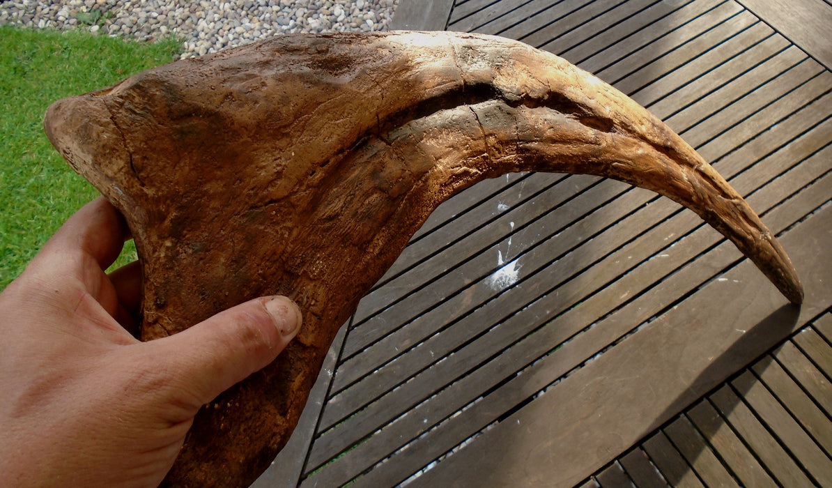 Therizinosaurus Claw for Sale at The Prehistoric Store
