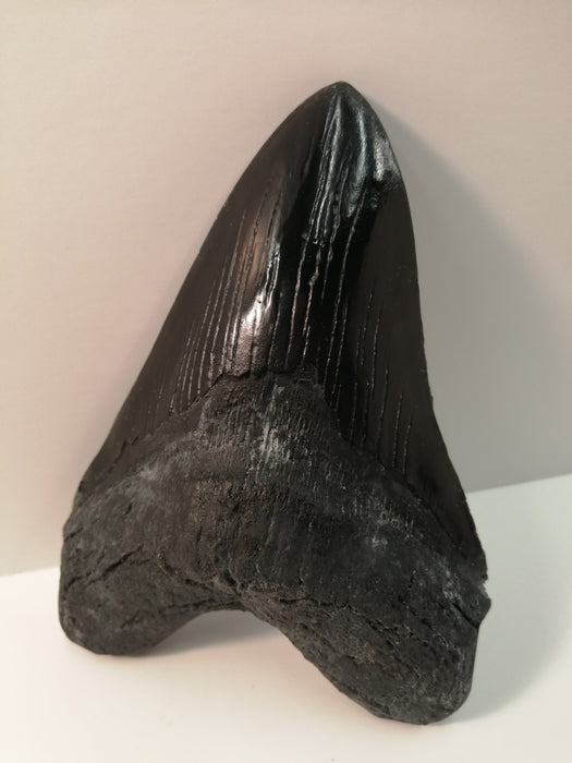"Massive 7"" Megalodon Tooth Replica"