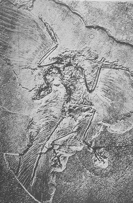 The Original Archaeopteryx Restoration Life Sized Fossil Replica