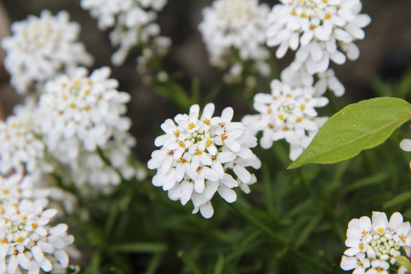 image of candytuft