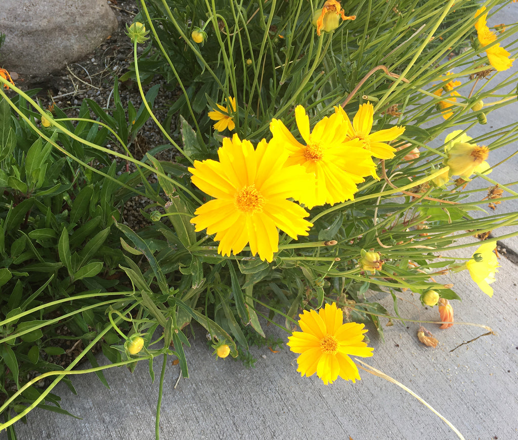image of coreopsis