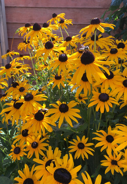 image of black eyed susans
