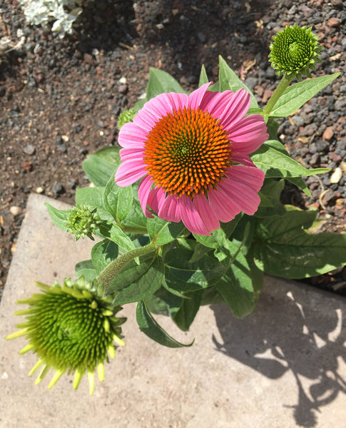 image of Echinacea flower