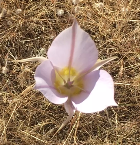 Picture of mariposa lily