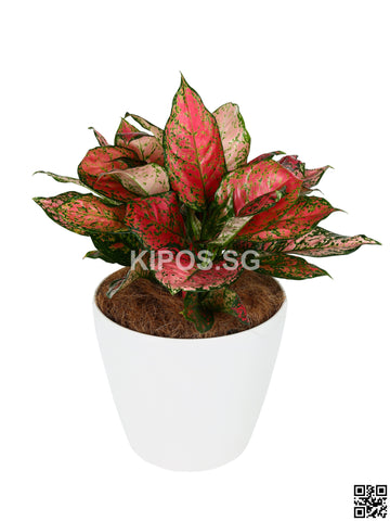Aglaonema Pink in Tabletop Round Planter