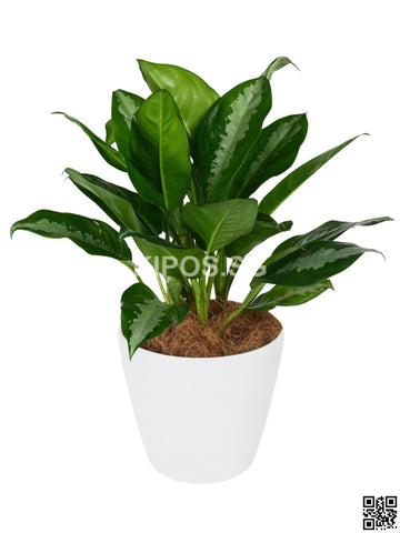 Aglaonema 'Ernesto's Favorite' in Tabletop Round Planter (Rental)