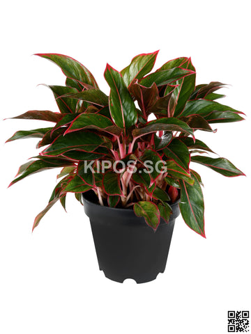 Aglaonema Red AR-M