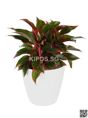 Aglaonema Red in Tabletop round pot (Rental)