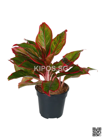 Aglaonema Red AR-S