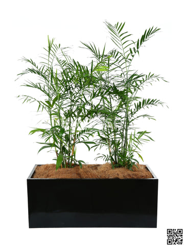 CHAMAEDOREA seifrizii in Rectangular Planter (Rental)