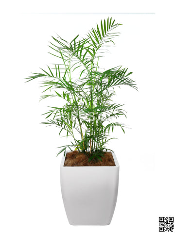 CHAMAEDOREA seifrizii  in Square Planter (Rental)