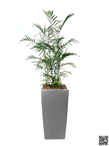 CHAMAEDOREA seifrizii in Vertical Planter (Rental)