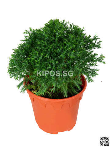 Cupressus CUP-S