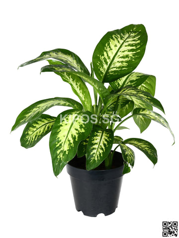 Dieffenbachia 'Tropical Snow' DTS-M