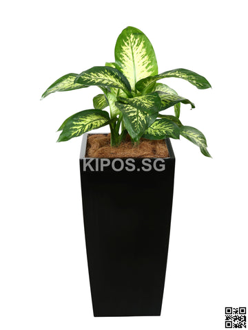 Dieffenbachia 'Tropical Snow' in Vertical Planter (Rental)