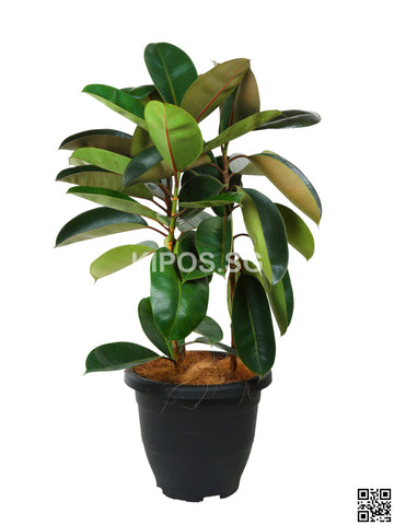 Ficus Elastica 'Black Burgundy' FIGE-BB-3FT