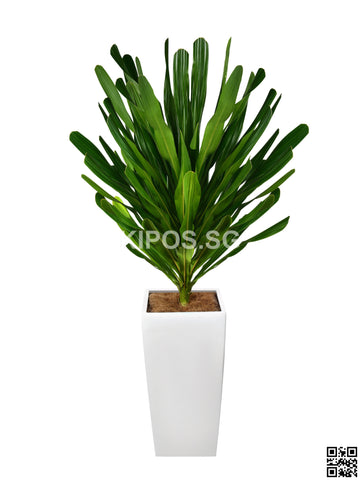 Dracaena Gymlis in Vertical Planter (Rental)