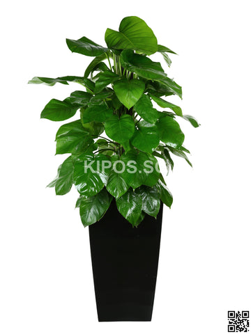 Epipremnum aureum in Vertical Planter (Rental)