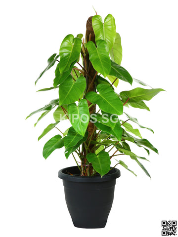 Philodendron Erubescens PHILO-5FT