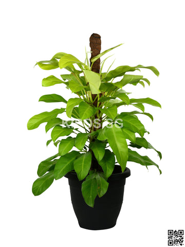 Philodendron Erubescens Gold PHILO-G-5FT