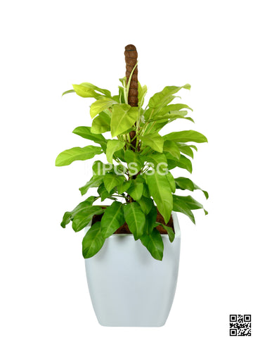 Philodendron Erubescens Gold in Square Planter (Rental)
