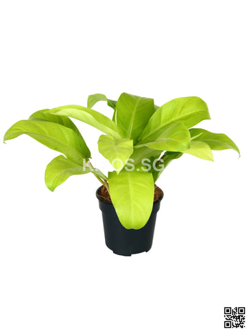 Philodendron Erubescens Gold PHILO-G-S