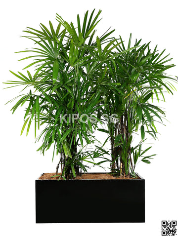 Rhapis Excelsa in Rectangular Planter